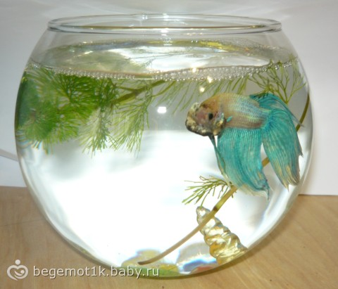 Как ухаживать за рыбкой петушок в домашних  99