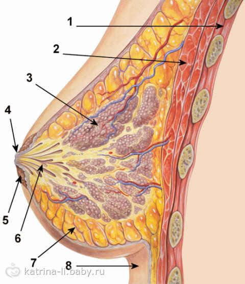 Внутри кормящей груди:
