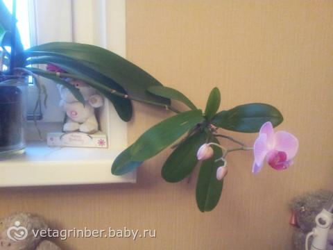Как сделать чтобы орхидея дала деток