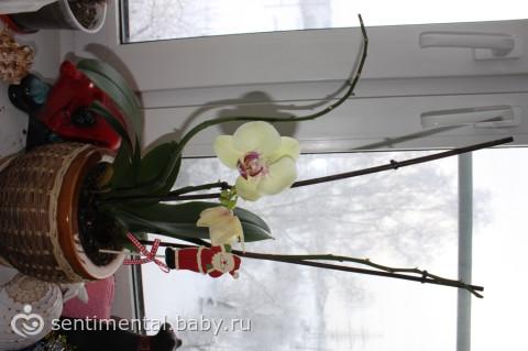 орхидея.что делать со стеблями?