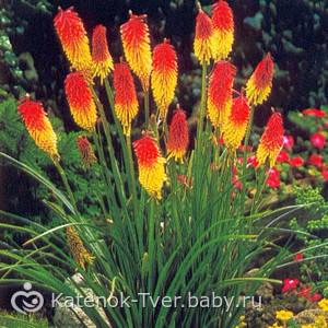 Книфофия. Кто нибудь выращивает такую красоту в саду?