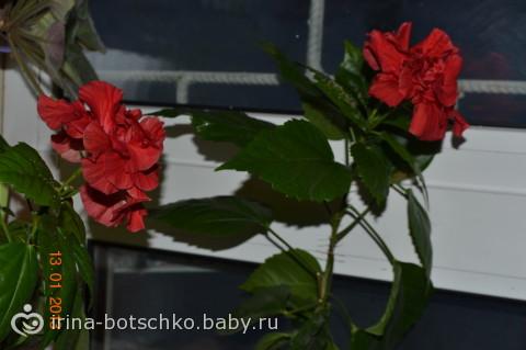 Моя роза)