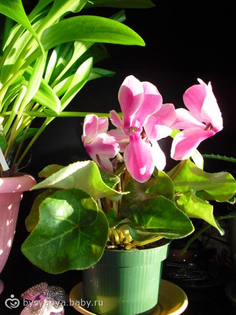 Подарки.Орхидея и Цикламен