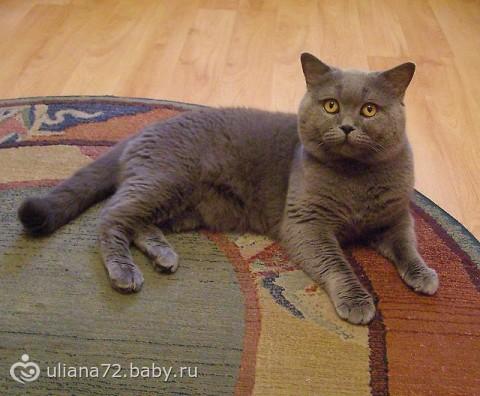Котёнок скотиш - фолд (продам)