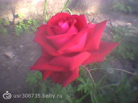 Мои любимые розы