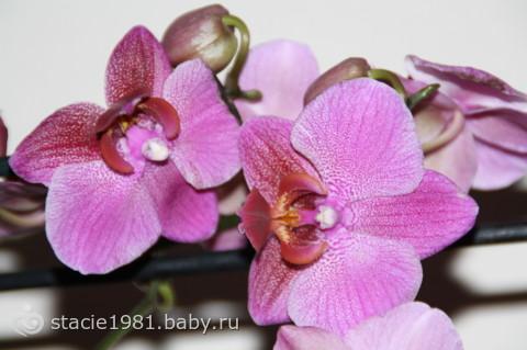 Орхидея Фаленопсис. Как ухаживать?